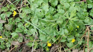 Scharbockskraut in der Blüte (c) Heike Engel